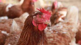 PRESSEMEDDELELSE Bornholmsk fjerkraehold ramt af fugleinfluenza